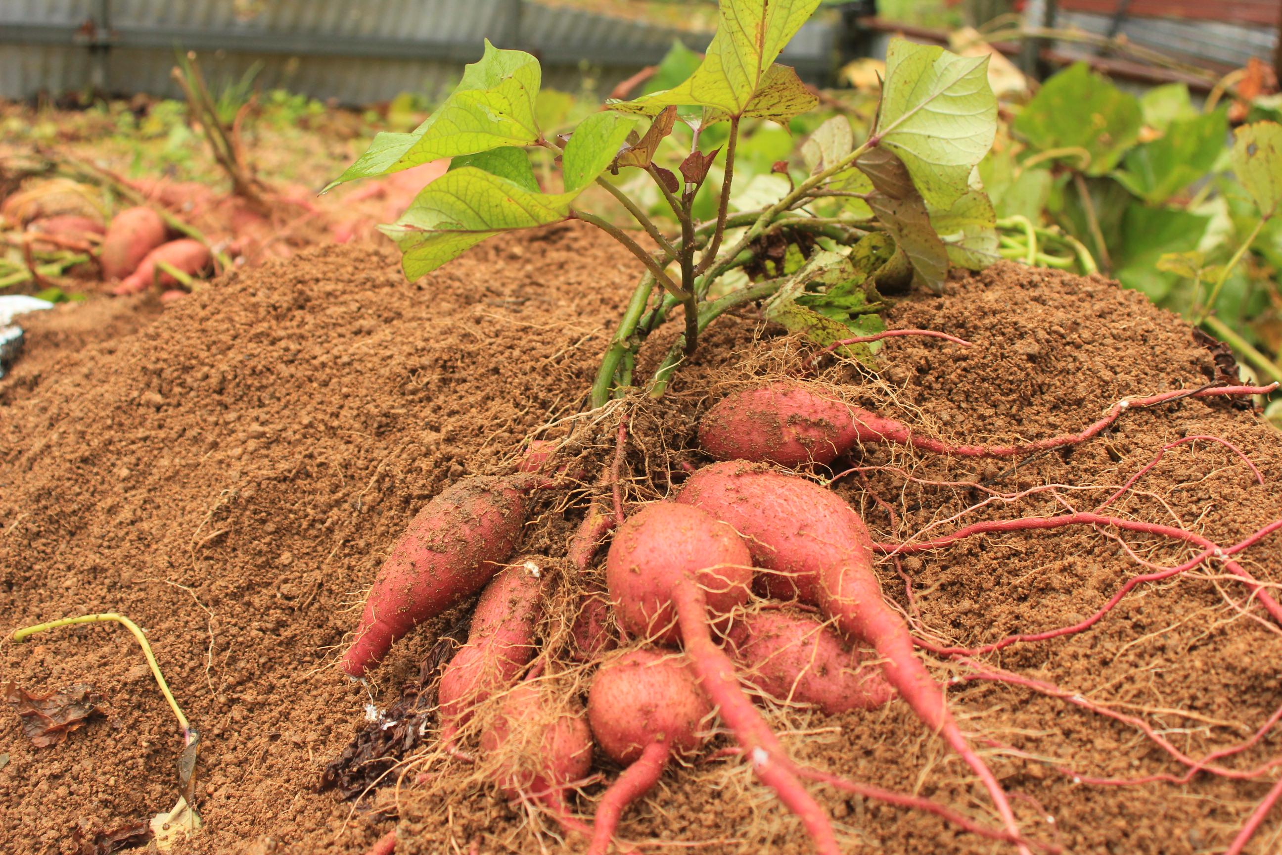 農家が教えるおいしい野菜の食べ方 ~さつまいも~
