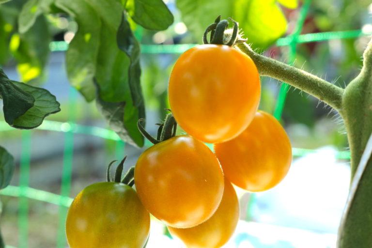 【若手農家の日常】夏の宝石ミニトマト